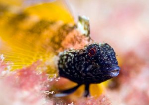 Black-faced blenny
