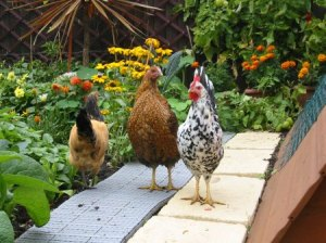 Chickens_on_path