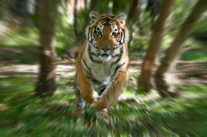tiger, Nature Reserve, Canada x